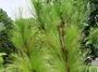 Pinaceae - Pinus caribaea var. hondurensis