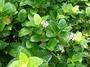 Acanthaceae - Pseuderanthemum carruthersii