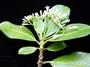 Rubiaceae - Psychotria uapoensis