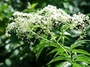 Adoxaceae - Sambucus mexicana