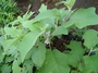 Solanaceae - Solanum melongenum