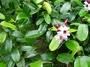 Apocynaceae - Strophanthus gratus