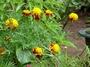 Asteraceae - Tagetes erecta