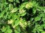 Malpighiaceae - Tristellateia australasiae