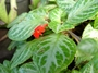 Gesneriaceae - Episcia cupreata