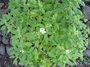 Rubiaceae - Pentas lanceolata
