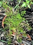 Onagraceae - Ludwigia palustris