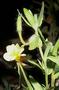 Onagraceae - Oenothera laciniata