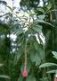 Onagraceae - Fuchsia boliviana