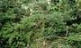 Onagraceae - Fuchsia magellanica