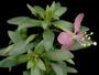 Onagraceae - Gongylocarpus fruticulosus