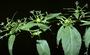 Onagraceae - Gongylocarpus rubricaulis