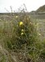 Onagraceae - Oenothera stricta subsp. stricta