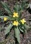 Onagraceae - Taraxia subacaulis