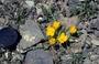 Onagraceae - Taraxia tanacetifolia