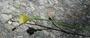 Onagraceae - Eulobus californicus