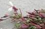 Onagraceae - Megacorax gracielanus