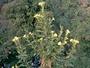Onagraceae - Oenothera biennis
