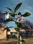 Onagraceae - Hauya heydeana