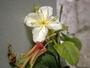 Onagraceae - Hauya elegans