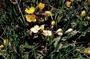 Onagraceae - Taraxia ovata