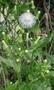 Asteraceae - Erechtites hieracifolia
