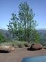 Proteaceae - Grevillea robusta
