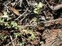Rubiaceae - Richardia brasiliensis