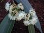 Myrtaceae - Eucalyptus saligna