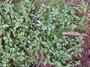 Asteraceae - Acanthospermum australe
