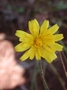 Asteraceae - Hypochoeris radicata