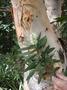 Myrtaceae - Melaleuca quinquenervia