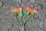Asteraceae - Emilia fosbergii