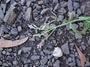 Verbenaceae - Verbena litoralis