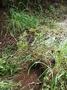 Cyperaceae - Cyperus meyenianus