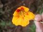 Tropaeolaceae - Tropaeolum majus