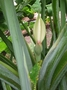 Araceae - Xanthosoma robustum