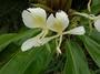 Zingiberaceae - Hedychium flavescens