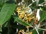 Buddlejaceae - Buddleja madagascariensis