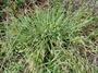 Poaceae - Setaria parviflora