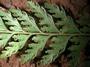 Dennstaedtiaceae - Microlepia strigosa var. strigosa