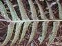 Blechnaceae - Doodia kunthiana
