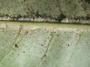 Rutaceae - Melicope barbigera
