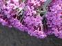 Buddlejaceae - Buddleja davidii