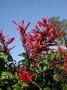 Acanthaceae - Odontonema cuspidatum