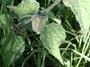 Solanaceae - Physalis peruviana