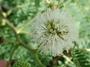 Fabaceae - Leucaena leucocephala