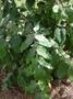 Araliaceae - Polyscias racemosa