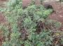 Fabaceae - Senna gaudichaudii