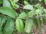 Myrtaceae - Psidium guajava 'jiminez'